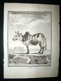 Buffon: C1770 Zebu Cattle, Antique Print